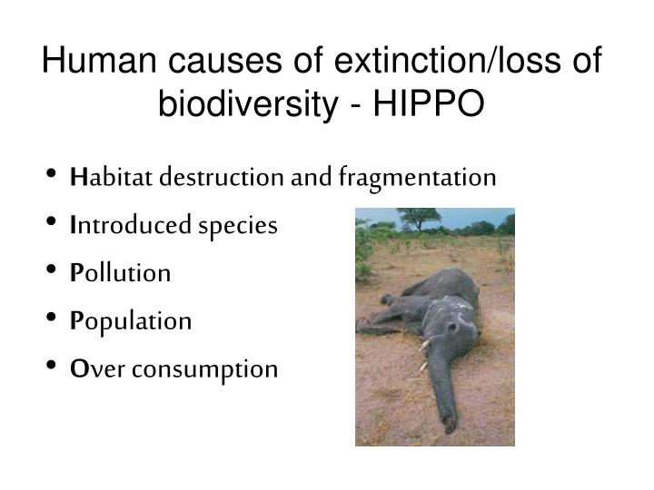 Human causes of extinction loss of biodiversity hippo