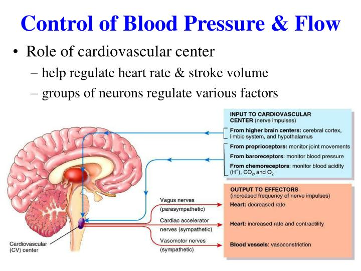 Control of Blood Pressure & Flow