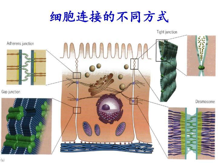 细胞连接的不同方式