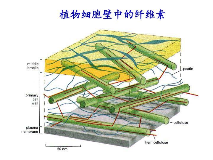 植物细胞壁中的纤维素