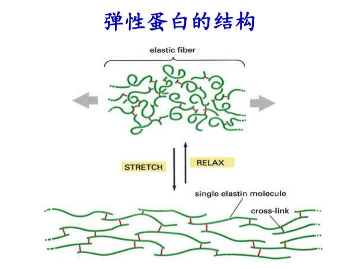 弹性蛋白的结构