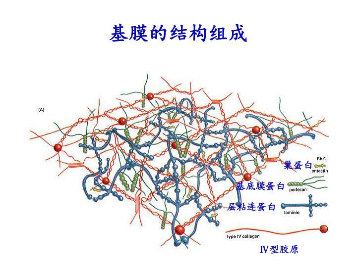基膜的结构组成