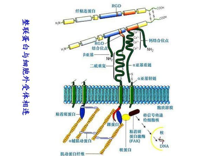 整联蛋白与细胞外受体相连