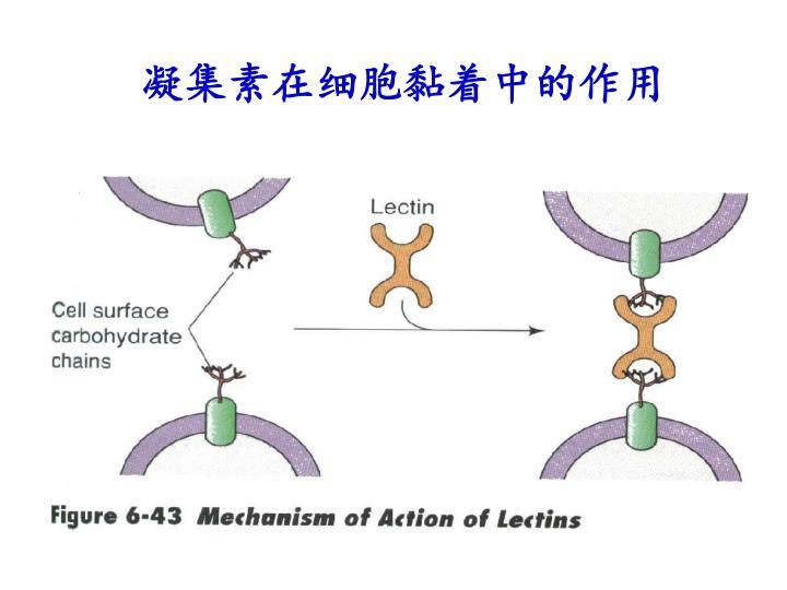 凝集素在细胞黏着中的作用