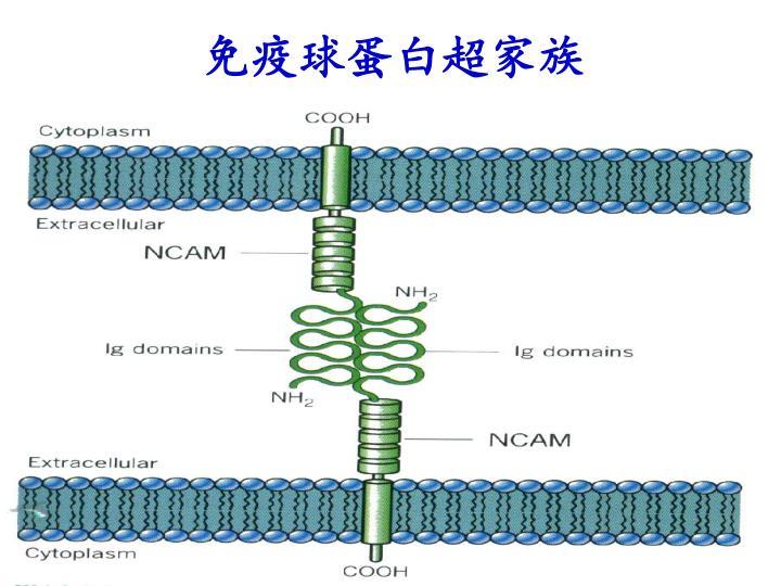 免疫球蛋白超家族