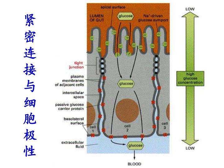 紧密连接与细胞极性