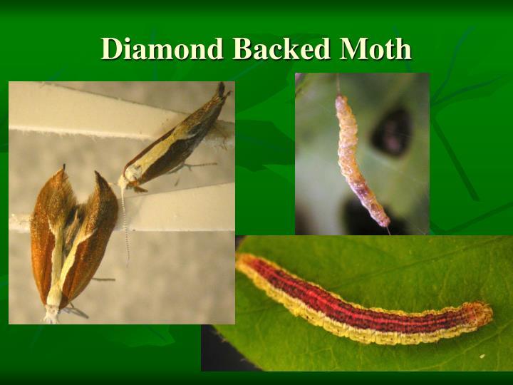 Diamond Backed Moth