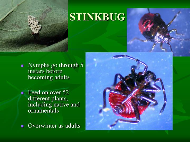 Nymphs go through 5 instars before becoming adults