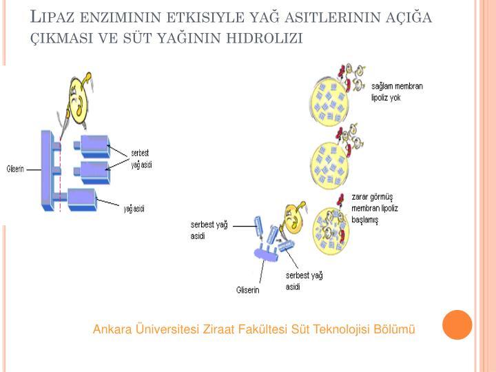 Lipaz enziminin etkisiyle ya asitlerinin aa kmas ve st yann hidrolizi