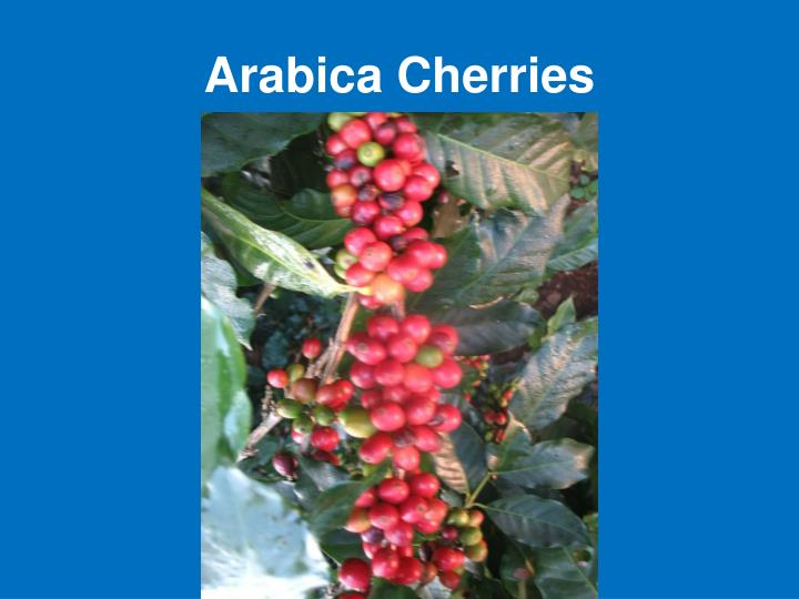 Arabica Cherries