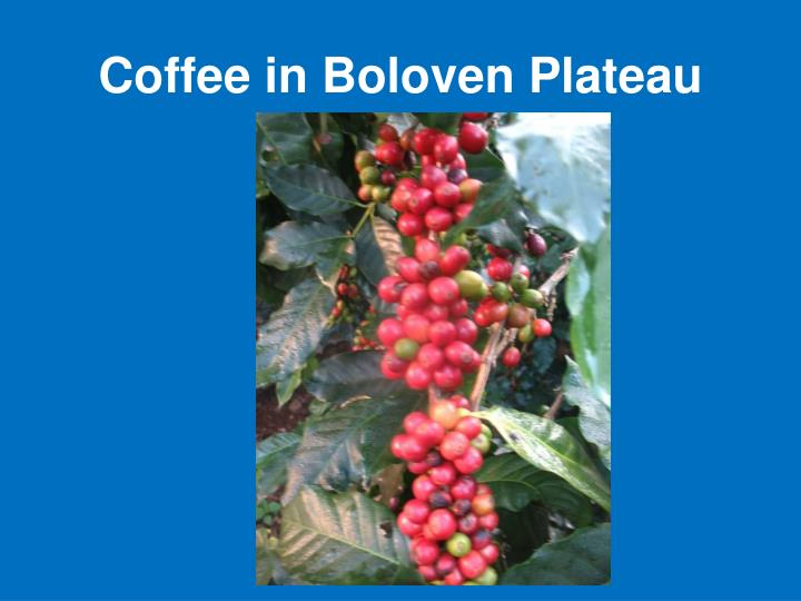 Coffee in Boloven Plateau
