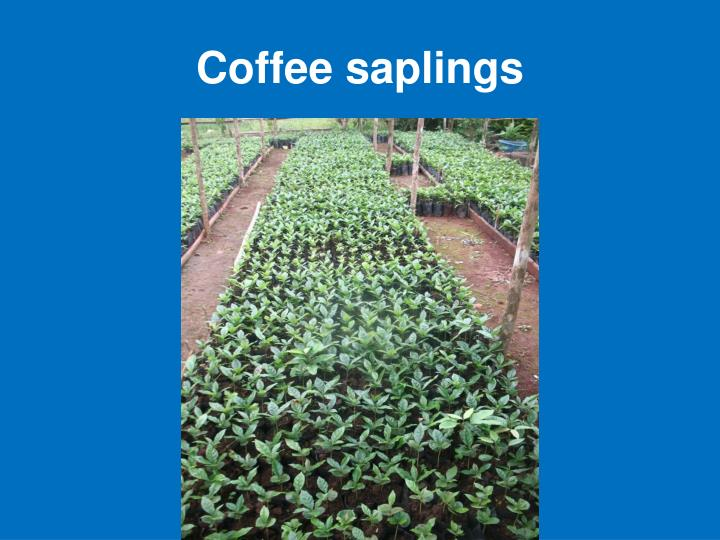 Coffee saplings