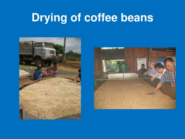 Drying of coffee beans