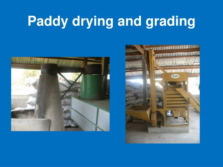 Paddy drying and grading