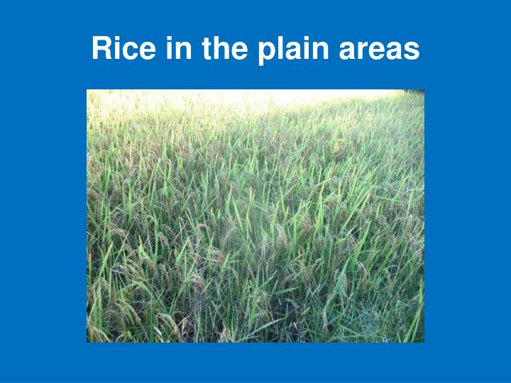 Rice in the plain areas