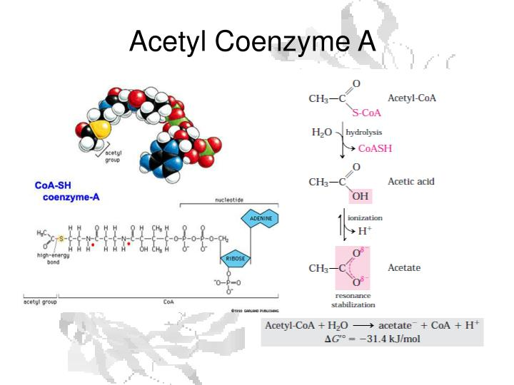 Acetyl Coenzyme A
