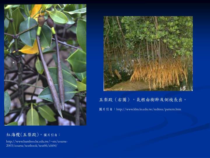 五梨跤(右圖),氣根由樹幹及側枝長出。