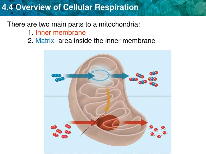 There are two main parts to a mitochondria: