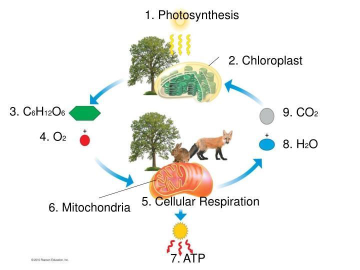 1. Photosynthesis