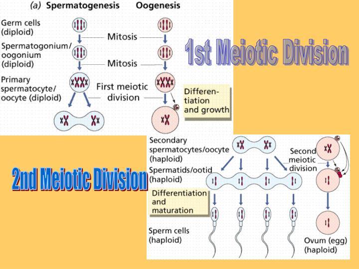 1st Meiotic Division