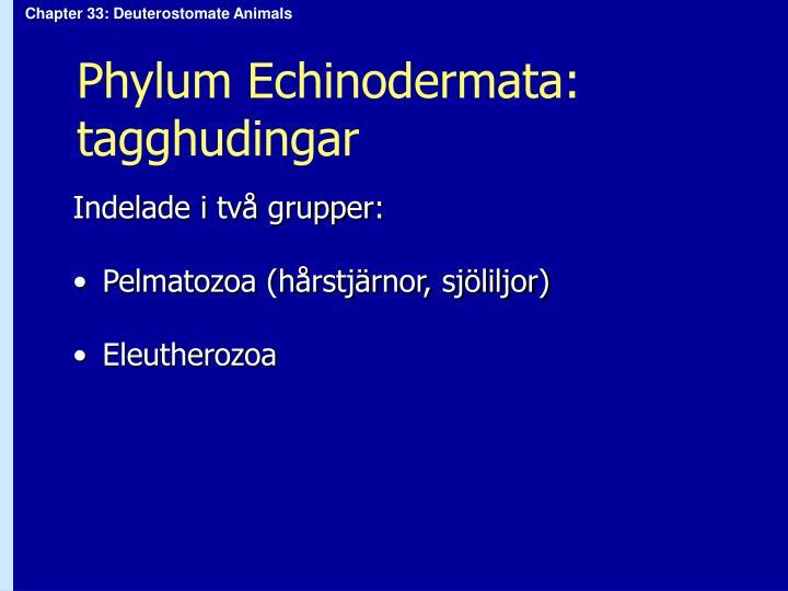 Phylum Echinodermata: tagghudingar