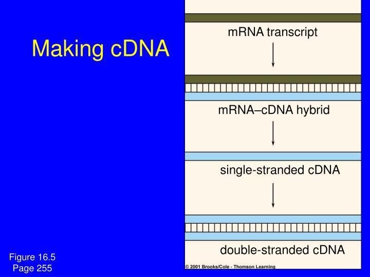 mRNA transcript