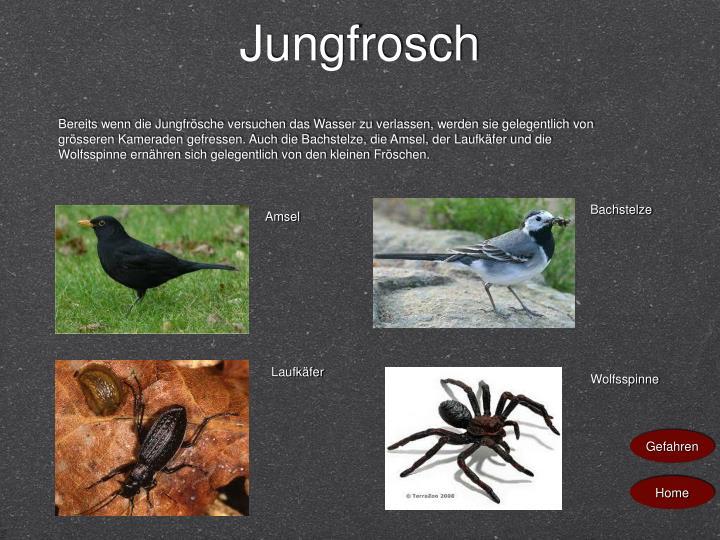 Jungfrosch