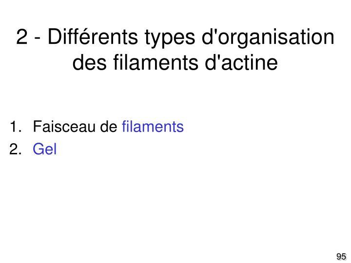 2 - Différents types d'organisation des filaments d'actine