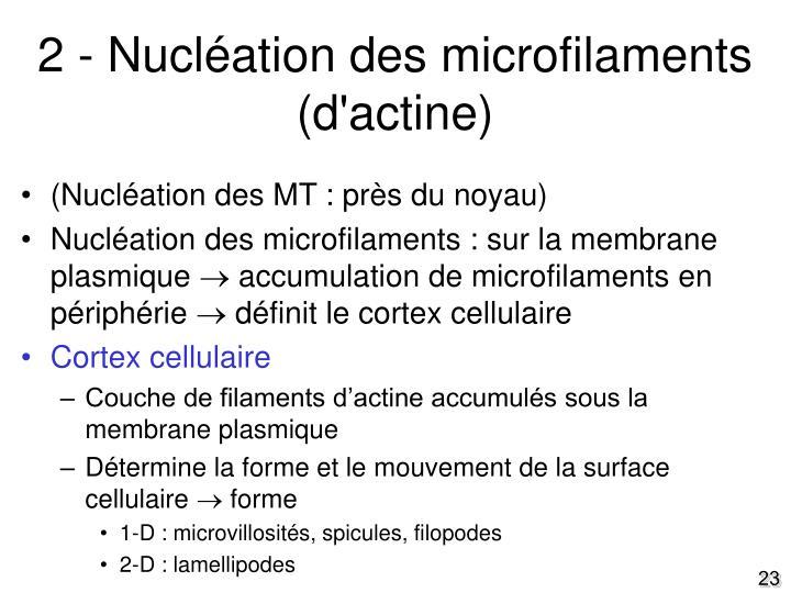2 - Nucléation des microfilaments (d'actine)