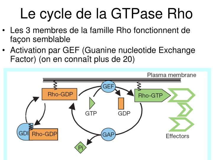 Figure 1 The Rho GTPase cycle. Twenty mammalian Rho GTPases have been described: Rho (three isoforms: A, B, C); Rac (1, 2, 3); Cdc42; TC10; TCL; Chp (1, 2); RhoG; Rnd (1, 2, 3); RhoBTB (1, 2); RhoD; Rif; and TTF. They cycle between an active (GTP-bound) and an inactive (GDP-bound) conformation. In the active state, they interact with one of over 60 target proteins (effectors). The cycle is highly regulated by three classes of protein: in mammalian cells, around 60 guanine nucleotide exchange factors (GEFs) catalyse nucleotide exchange and mediate activation; more than 70 GTPase-activating proteins (GAPs) stimulate GTP hydrolysis, leading to inactivation; and four guanine nucleotide exchange inhibitors (GDIs) extract the inactive GTPase from membranes. All Rho GTPases are prenylated at their C terminus, and this is required for function. Rnd proteins are exceptional in that they do not hydrolyse GTP in vitro, which is an unusual property for a regulatory GTPase. It has been argued that they are controlled by expression, but it is equally possible that a yet to be identified GAP is required for hydrolysis.