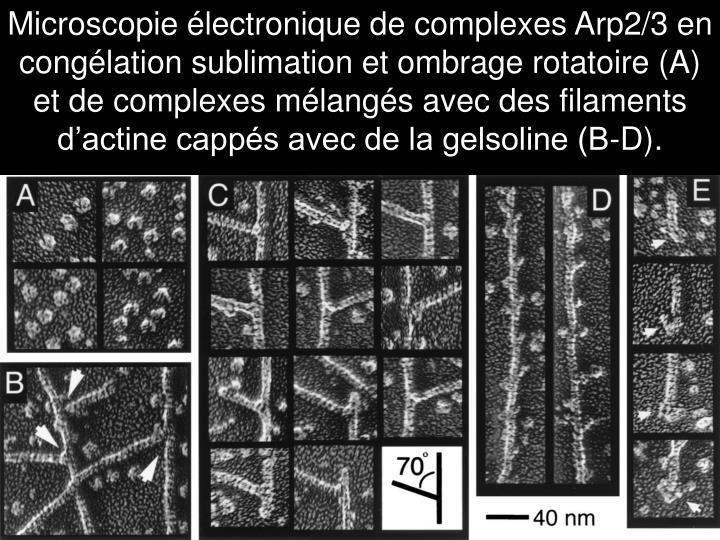 Microscopie électronique de complexes Arp2/3 en congélation sublimation et ombrage rotatoire (A) et de complexes mélangés avec des filaments d'actine cappés avec de la gelsoline (B-D).