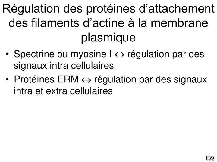 Régulation des protéines d'attachement des filaments d'actine à la membrane plasmique