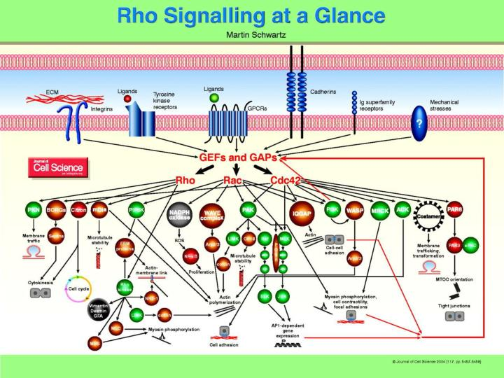 Rho signalling at a glance