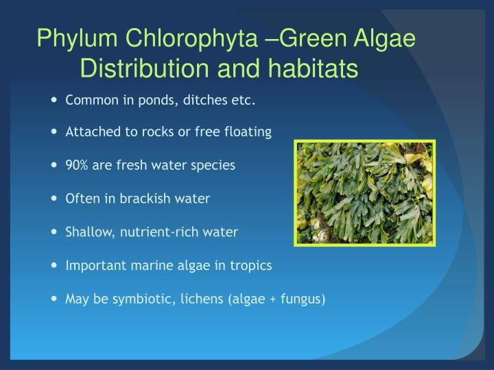 Phylum Chlorophyta –Green Algae