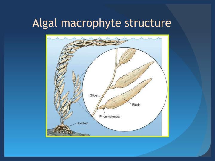 Algal