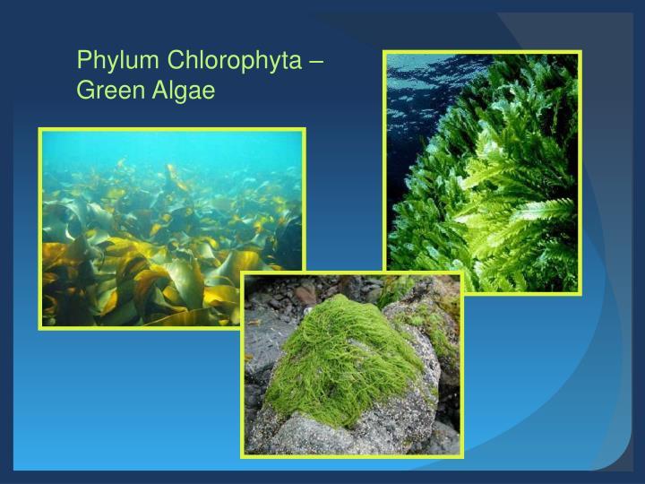 Phylum Chlorophyta –