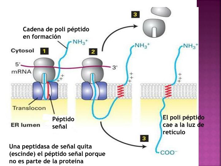Cadena de poli péptido en formación