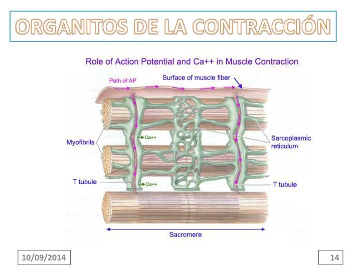 ORGANITOS DE LA CONTRACCIÓN