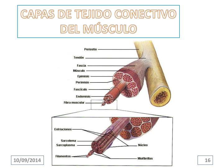 CAPAS DE TEJIDO CONECTIVO