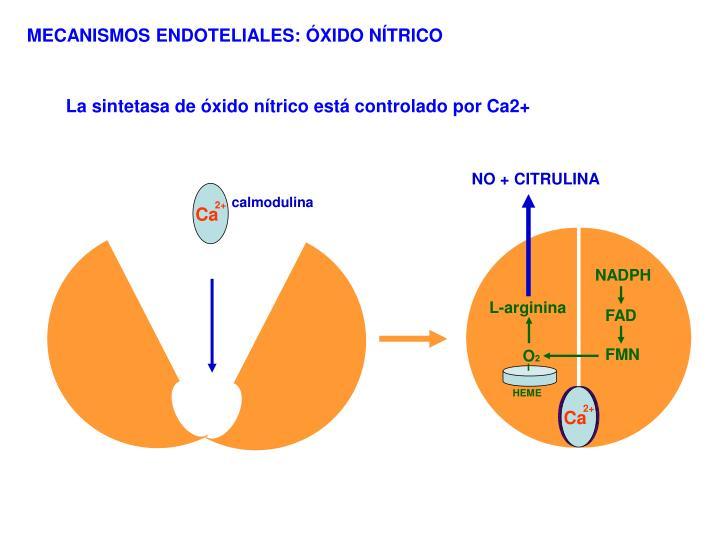 calmodulina