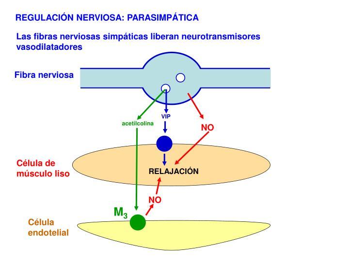 REGULACIÓN NERVIOSA: PARASIMPÁTICA