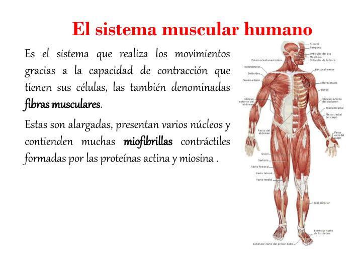 El sistema muscular humano