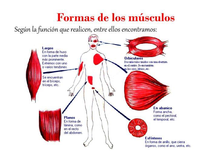 Formas de los músculos