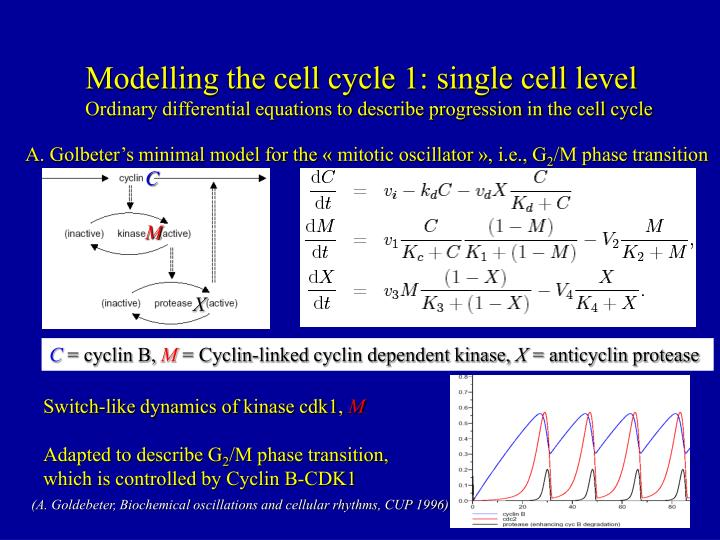 Modelling the cell cycle 1: single cell level