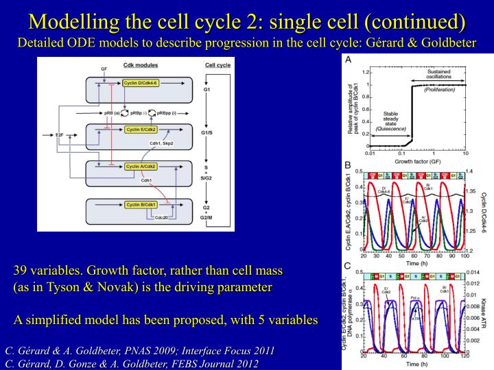 Modelling the cell cycle 2: single cell (continued)