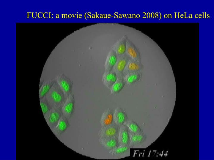 FUCCI: a movie (Sakaue-Sawano 2008) on HeLa cells