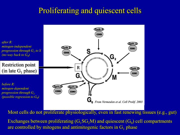 Proliferating and quiescent cells