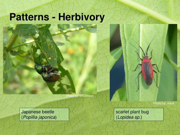 Patterns - Herbivory