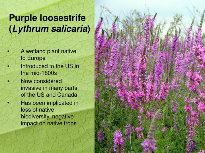 Purple loosestrife lythrum salicaria