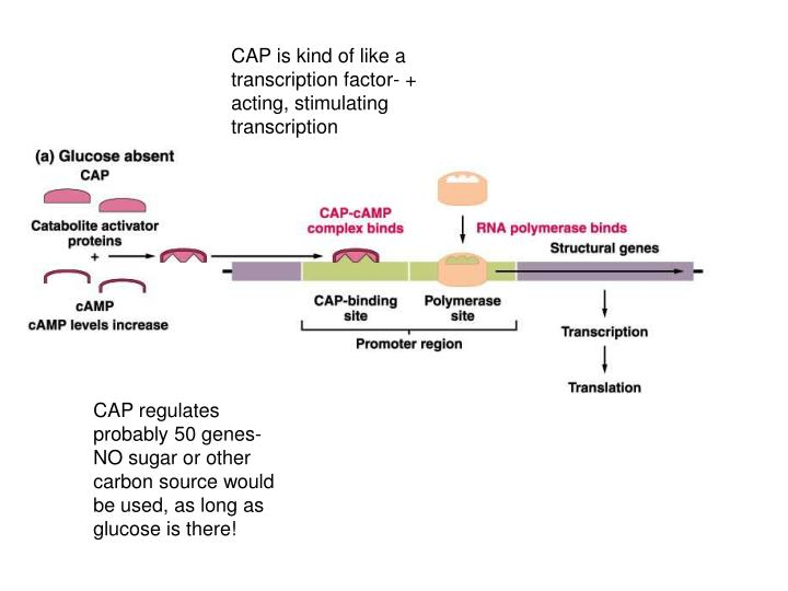 CAP is kind of like a transcription factor- + acting, stimulating transcription